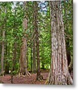 Giant Cedars On Trail Of The Cedars In Glacier Np-mt Metal Print