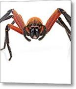Giant Crab Spider Suriname Metal Print