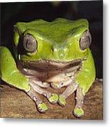 Giant Monkey Frog  Venezuela Metal Print