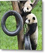Giant Panda Cubs Metal Print