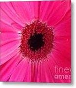 Flower Photography - Giant Pink Gerbera Daisy Metal Print