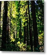 Giant Redwood Forest Metal Print