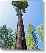 Giant Sequoia In Mariposa Grove In Yosemite National Park-california  Metal Print