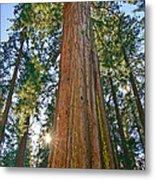 Giant Sequoia Trees Of Tuolumne Grove In Yosemite National Park. Metal Print