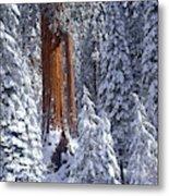 Giant Sequoia Trees Sequoiadendron Metal Print