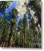 giant sequoias sequoiadendron gigantium yosemite NP Metal Print