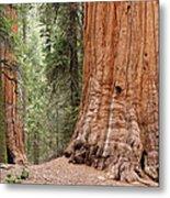 Giant Sequoias Metal Print