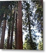 Giant Sequoias - Yosemite Park Metal Print