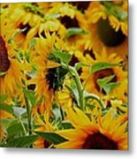 Giant Sunflowers Metal Print