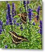 Giant Swallowtail Butterfly Couple Metal Print