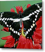 Giant Swallowtail Butterfly Metal Print