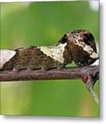 Giant Swallowtail Caterpillar Metal Print