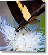 Giant Swallowtail Metal Print