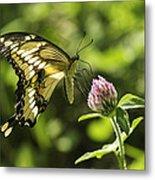 Giant Swallowtail On Clover 2 Metal Print