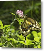 Giant Swallowtail On Clover 3 Metal Print
