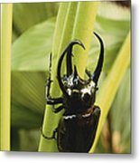Giant Three-horned Beetle Metal Print