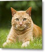 Ginger Cat In Garden Metal Print