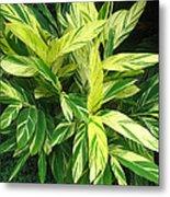 Ginger Lily. Alpinia Zerumbet Metal Print