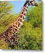 Giraffe Among Trees. Safari In Serengeti. Tanzania Metal Print