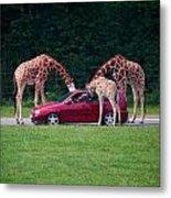 Giraffe. Animal Studies Metal Print