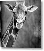 Giraffe Face In Black And White Metal Print