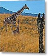 Giraffe Family In Living Desert Museum In Palm Desert-california Metal Print