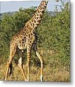 Giraffe From Tanzania Metal Print