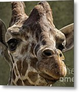 Giraffe Hey Are You Looking At Me Metal Print