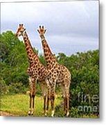 Giraffe Males Before The Storm Metal Print