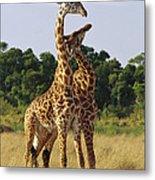 Giraffe Males Sparring Masai Mara Kenya Metal Print
