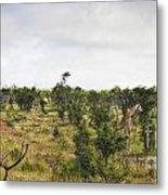 Giraffe Panorama Metal Print