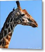 Giraffe Portrait Close-up. Safari In Serengeti. Tanzania Metal Print