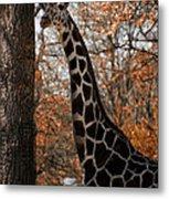 Giraffe Posing Metal Print