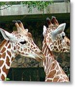 Giraffes-09023 Metal Print