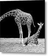 Giraffe's Metal Print