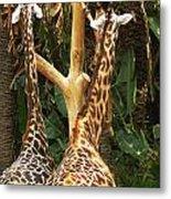Giraffes In Love Metal Print