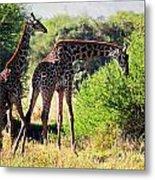Giraffes On Savanna Eating. Safari In Serengeti Metal Print