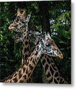 Giraffs Metal Print