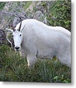 Glacier Goat Metal Print by Carolyn Ardolino