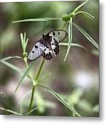 Glass-wing Butterfly Metal Print