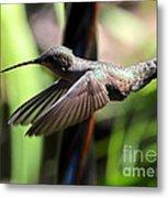 Gliding Hummingbird Metal Print
