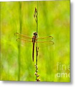 Glorious Golden-winged Metal Print