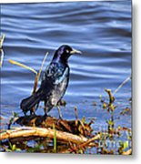 Glorious Grackle Metal Print