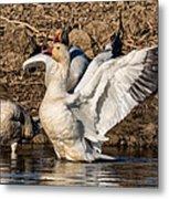 Glorious Snow Goose Metal Print