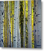 Glowing Aspens Metal Print