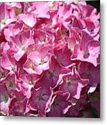 Glowing Pink Hydrangea Metal Print