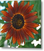 Glowing Red Sunflower Metal Print