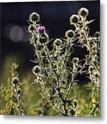 Glowing Thistle - 1 Metal Print