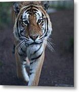Go Get 'em Tiger Metal Print by Brenda Schwartz