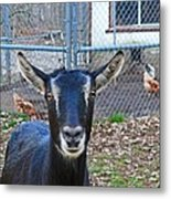 Goat And Chickens Metal Print